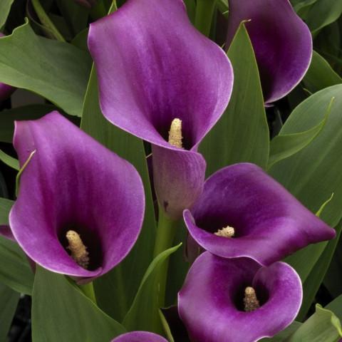 Калла Purple Sensation