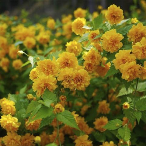 Керрия японская Pleniflora