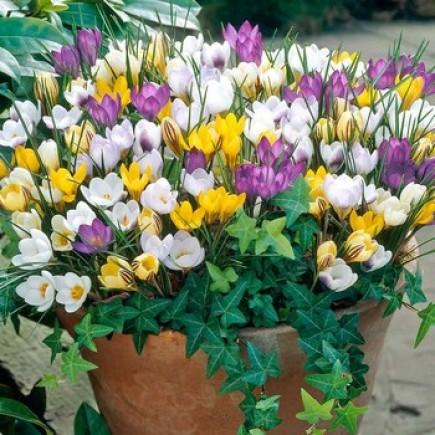 Крокус Ботанический микс