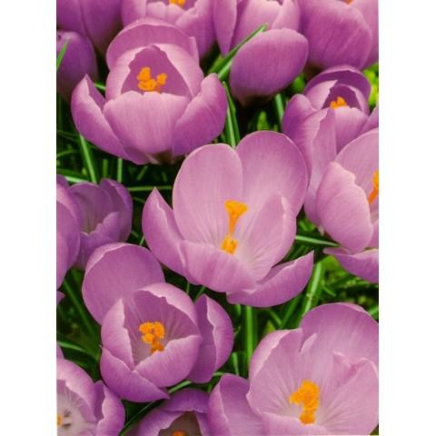 Крокус Крупноцветковый Grand Maitre