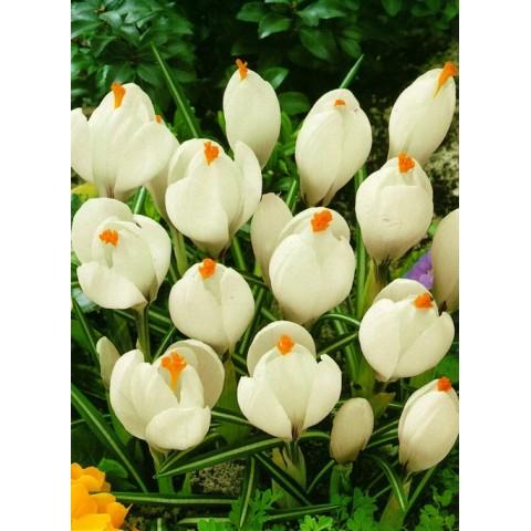 Крокус Крупноцветковый Jeanne d 'Ark