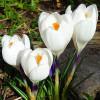Крокус Крупноцветковый Jeanne d 'Arc