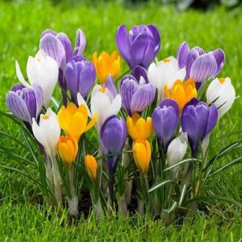 Крокус Крупноцветковый смесь