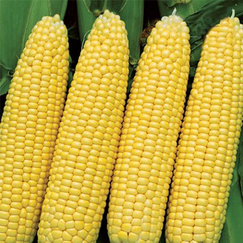 Кукуруза гибрид Любава F1 / 1 кг