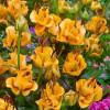 Лілія азіатська Apricot Fudge (лілія троянда) (premium)
