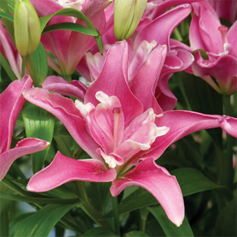 Лилия азиатская махровая Candy Blossom