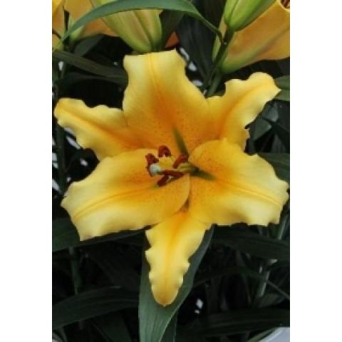 Лилия гигант Yelloween