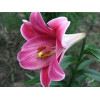 Лілія LO гібрид Pink Heaven