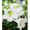 Лілія LO гібрид White Heaven