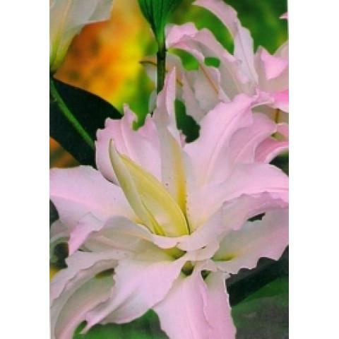 Лилия ориентальная махровая Spring Pink