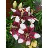 Лилия низкорослая Tiny Padhye