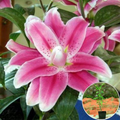 Лілія орієнтальна махрова Sweet Rosy (контейнер 1 л)
