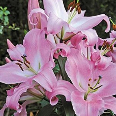 Лилия ОТ гибрид Pink Mist (premium)