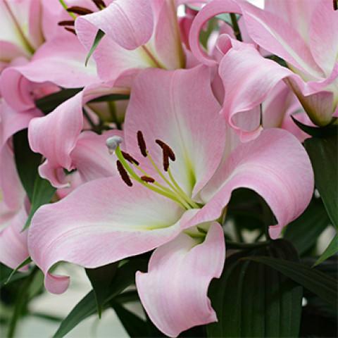 Лилия гигант Pink Mist