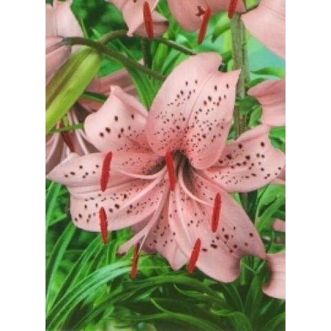 Лилия свисающая Pink Giant