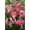 Лилия свисающая Speciosum Rubrum