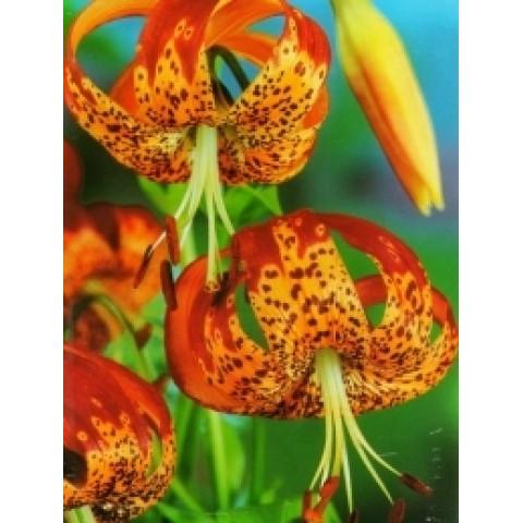 Лілія звисаюча Tigrinum Splendens