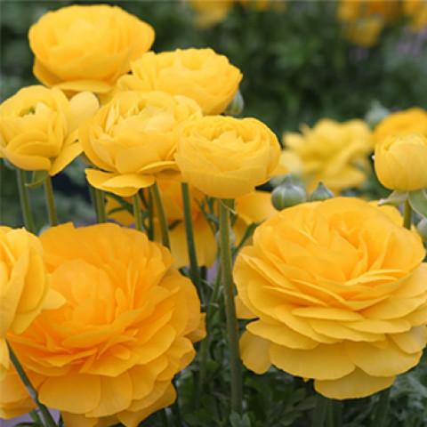 Лютики Yellow