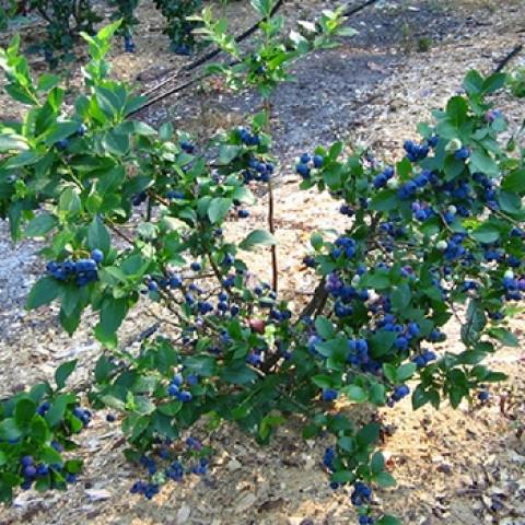 Лохина (Чорниця садова) Блюкроп