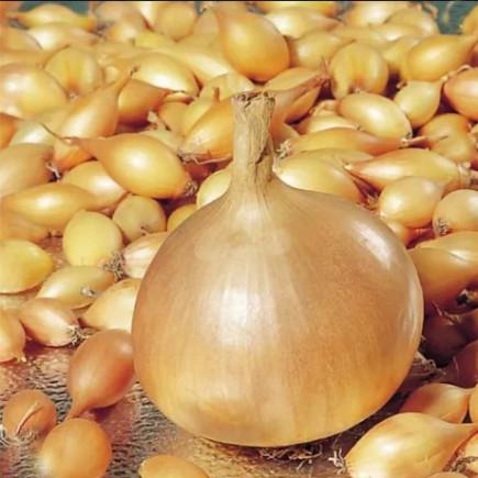 Лук севок Штутти 0.5 кг