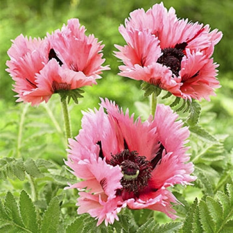 Мак многолетний Pink Ruffles