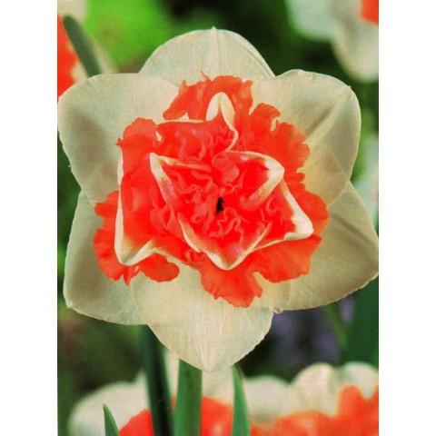 Нарцис Махровий Flower Surprise