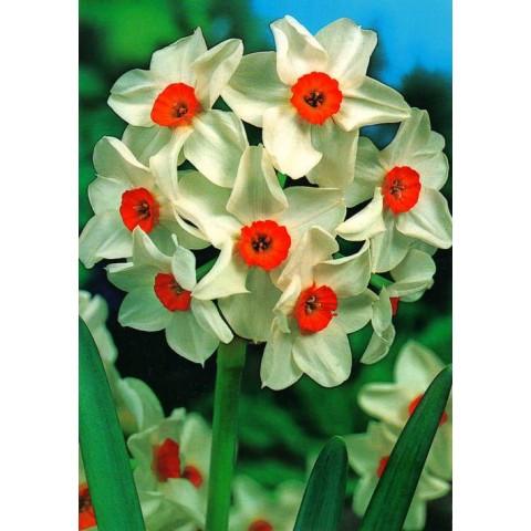 Нарциc Багатоквітковий Geranium