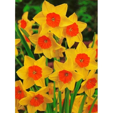Нарцисc Многоцветковый Suzy