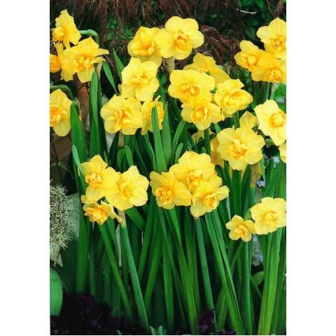 Нарциc Багатоквітковий Yellow Cherfulness