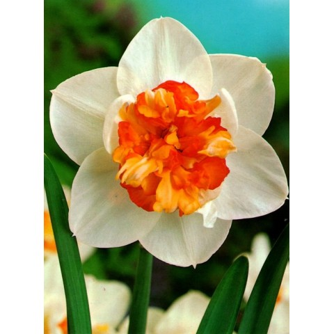 Нарцисс Корончатый с махровой короной Flower Drift