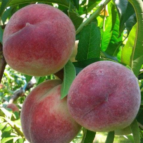 Персик Лісостеповий