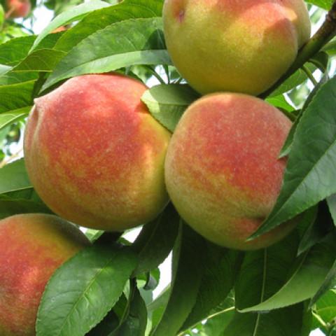 Персик Желтоплодный