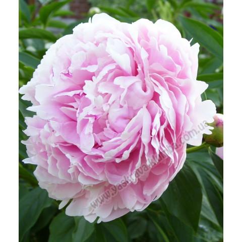 Пион древовидный Светло-розовый (Yin hong qiao dui)