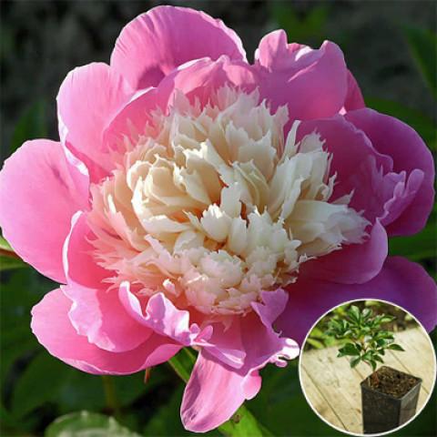 Пион травянистый Bowl of Beauty (контейнер 3 л)