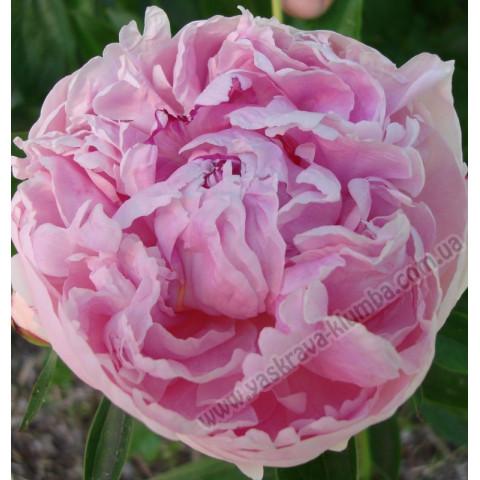 Пион травянистый Pink Supreme
