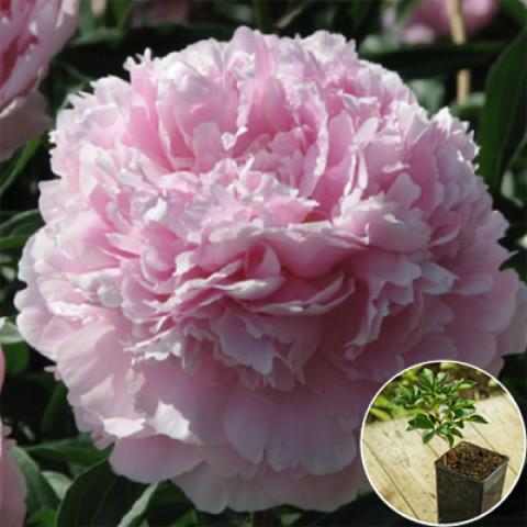 Пион травянистый Pink Supreme (контейнер 3 л)