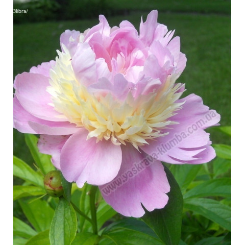 Пион травянистый Raspberry Sundae