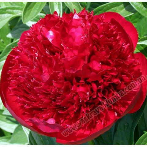 Пион травянистый Red Charm