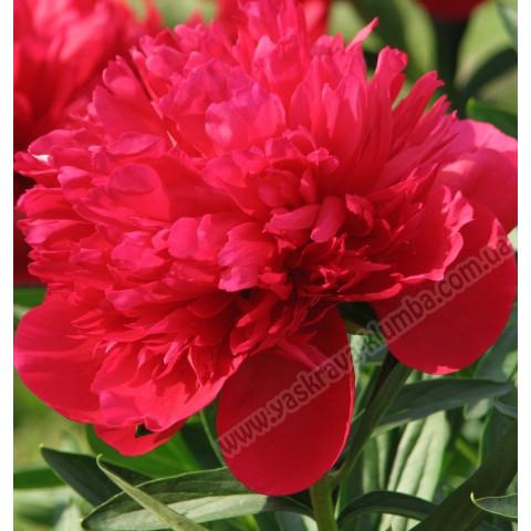 Пион травянистый Red Supreme