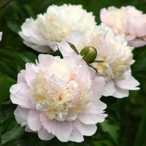 Пион травянистый Shirley Temple