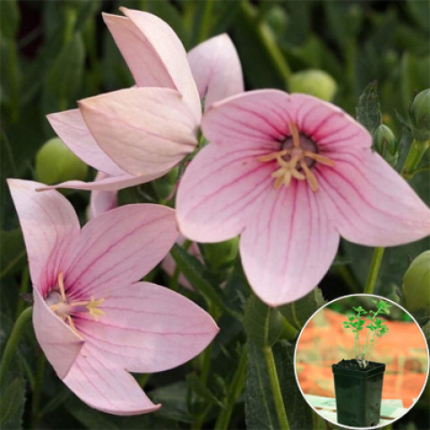 Платикодон Grandiflorus Fuji Pink (контейнер 1 л)