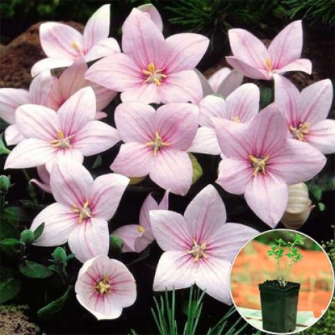 Платикодон Grandiflorus Shell Pink (контейнер 1 л)