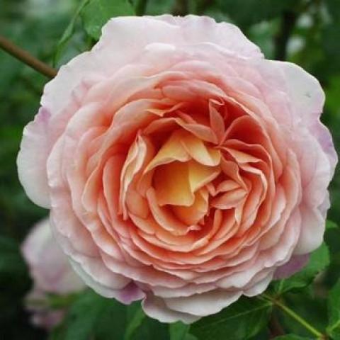 Троянда Абрахам Дербі (Abraham Darby)
