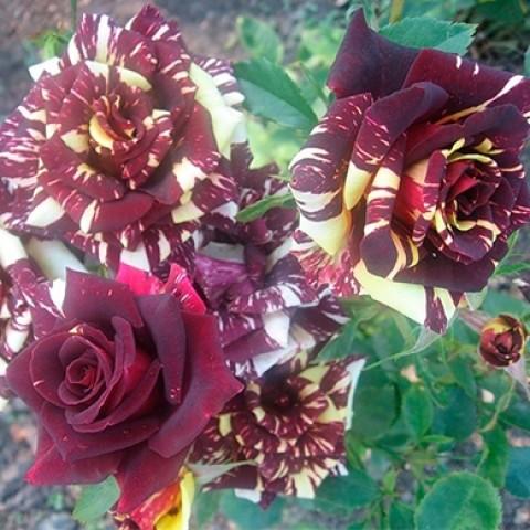 Роза Абракадабра (Аbracadabra) штамб