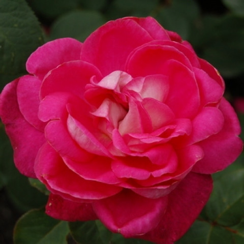 Роза Акапелла (Acapella) штамб Tantau