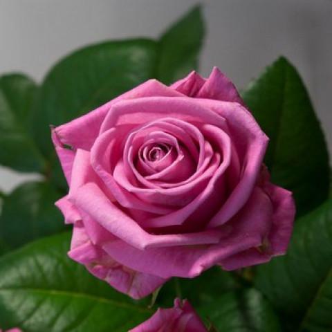 Роза Аква (Aqua) (контейнер 3 л)
