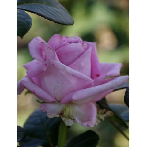 Троянда Аква (Aqua)