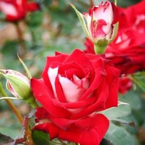 Троянда Альянс (Alliance)