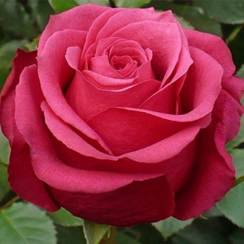 Роза Амалія (Amalia)