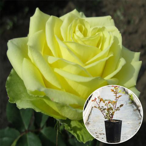 Роза Амандин (Amandine) (контейнер 3 л)